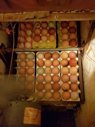 incubated eggs
