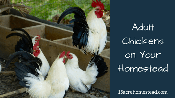 Adult Chickens on Your Homestead