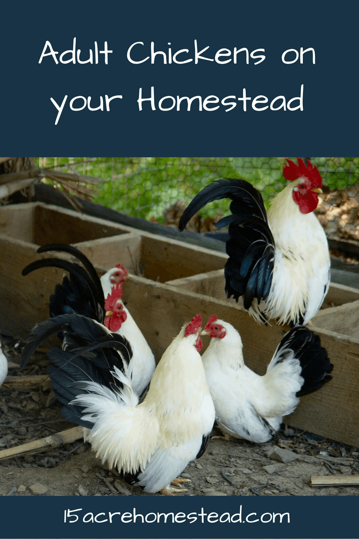 Raising adult chickens can prove to be less stressful and a lot of fun!