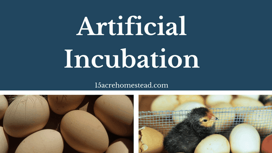 Artificial Incubation Methods for Chickens