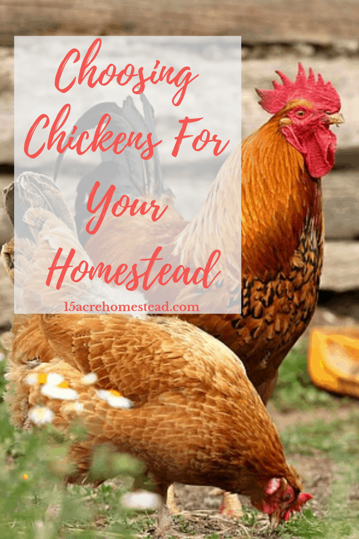 Choosing chickens for your homestead is something you should research and learn something about!