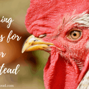 Choosing Chickens For Your Homestead