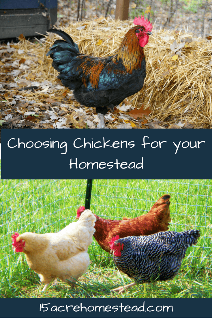 How to choose the right chicken breed and type for your homestead.