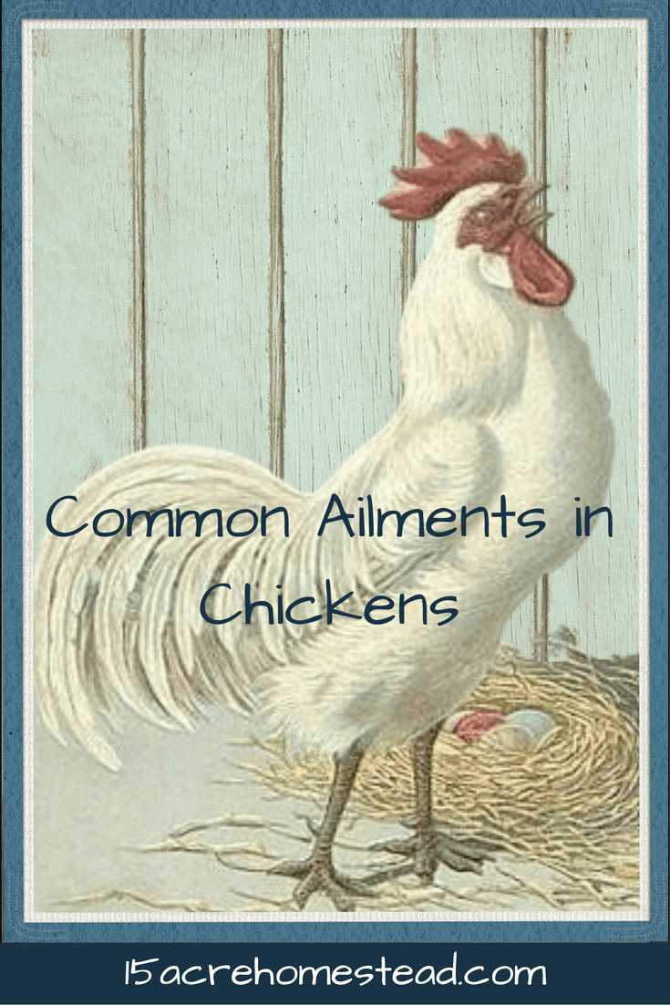 Understanding ailments your chickens suffer from can help keep your chicken strong and healthy abd prevent future health issues.