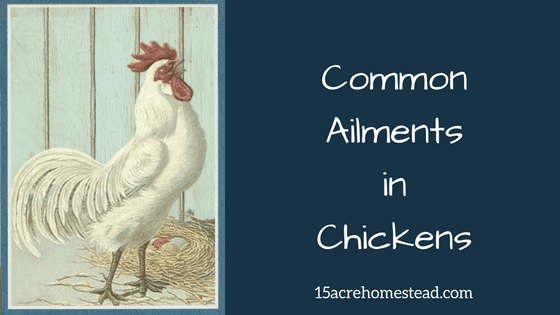 Common Ailments in Chickens