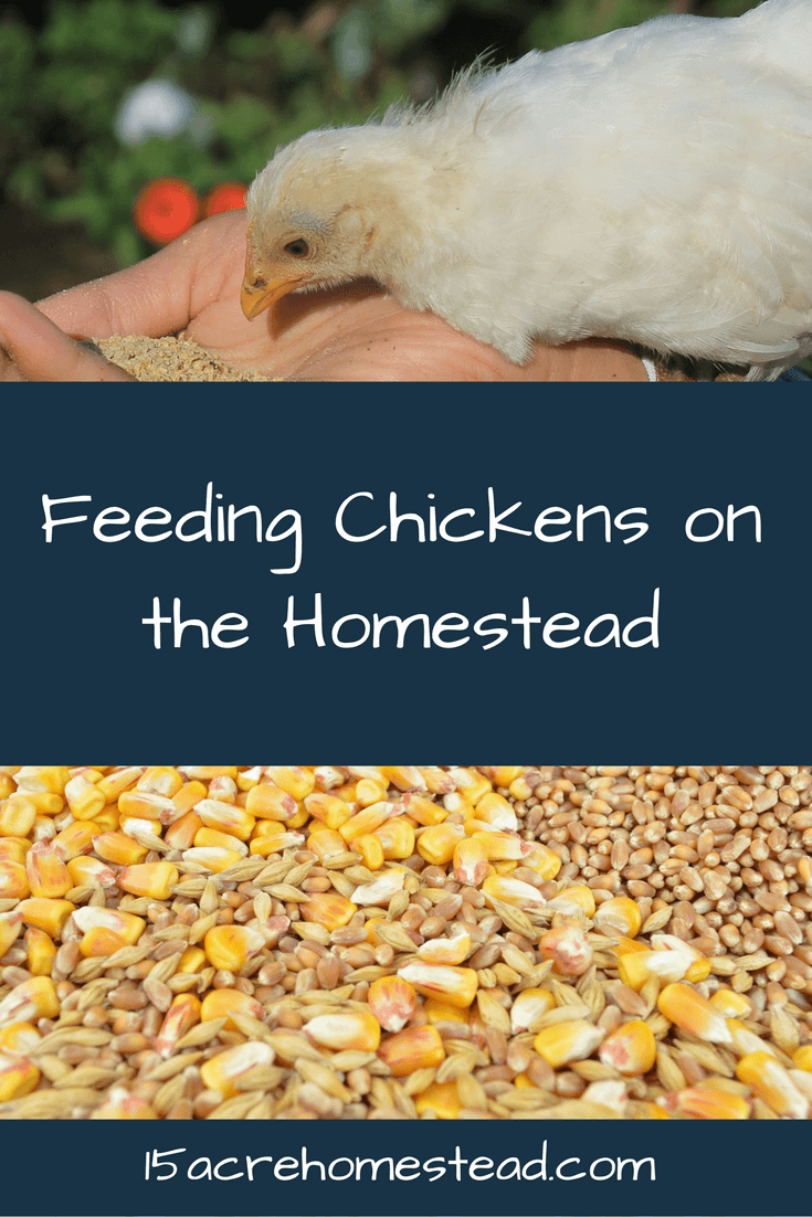 Learn about what to feed your chickens and when.