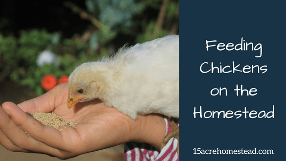 Feeding Chickens on the Homestead