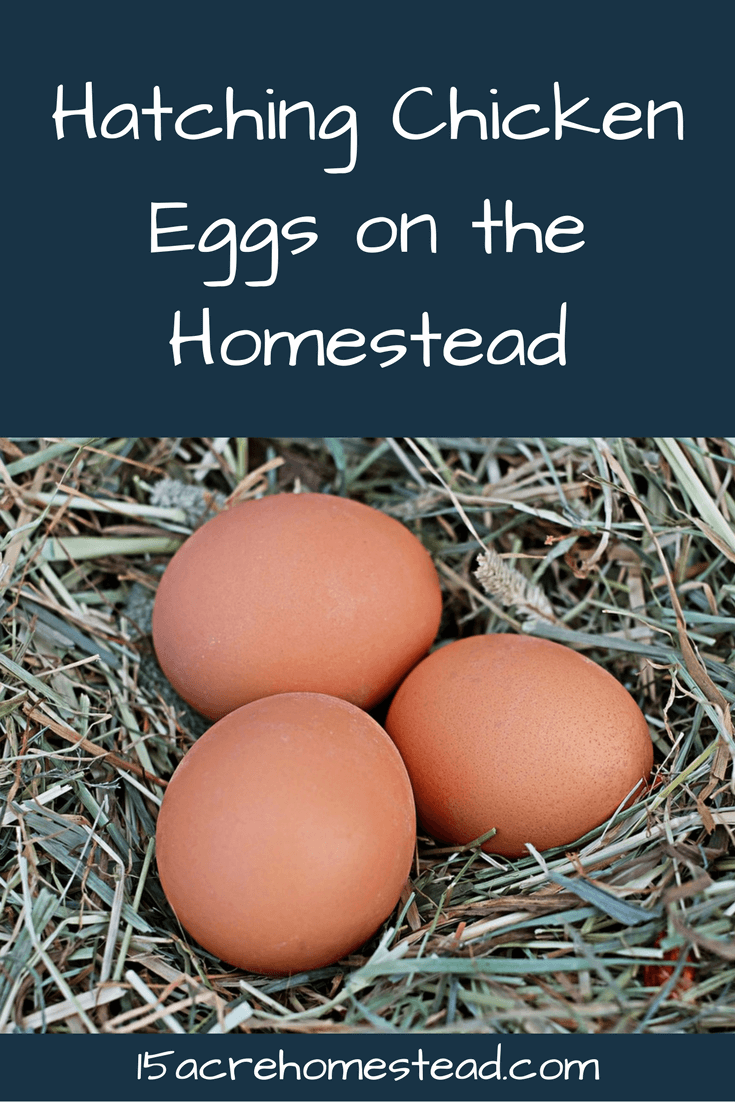 Hatching eggs on the homestead can be a lot of fun!