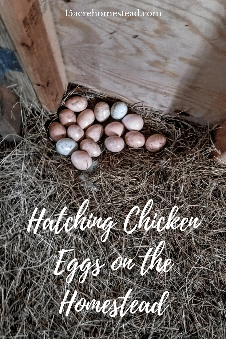 Hatching chicken eggs at home is a rewarding experience for the homesteader. There is a lot of joy in watching those tiny chicks break out of their shells!