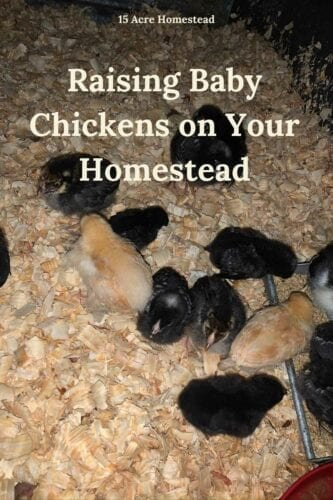 Here is an ultimate guide to raising baby chickens on your homestead. Learn everything you need to know!