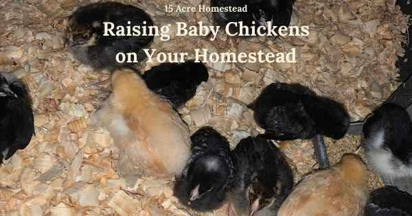 Raising baby chickens featured image