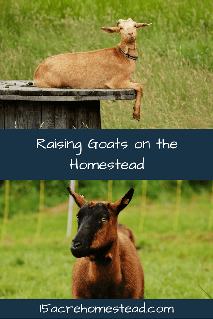 Learn a basic introduction to goats and what's involved with raising them.