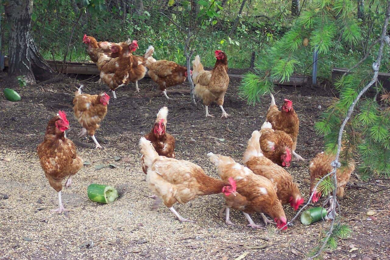 chickens foraging