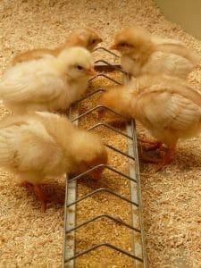 trough chicken feeder