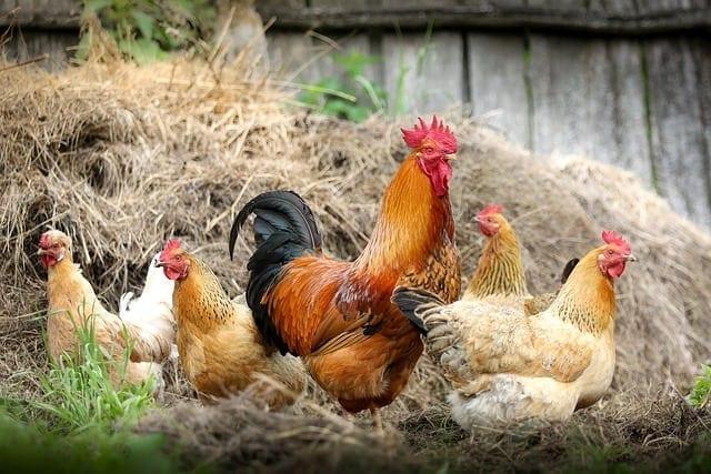 choosing chickens