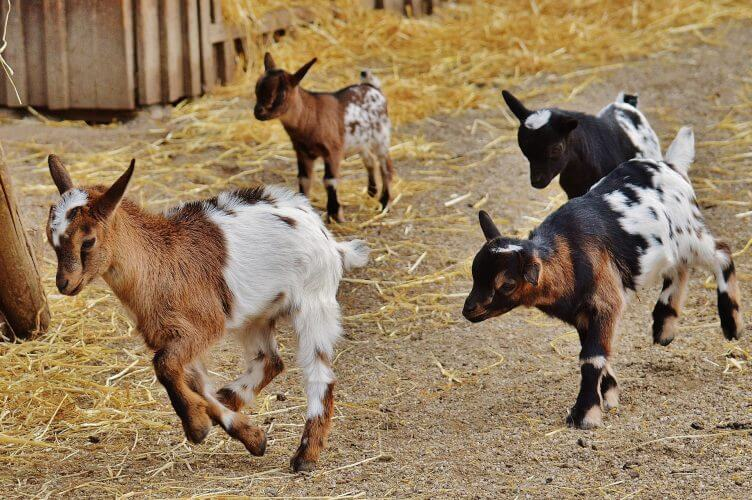 the joy of raising goats