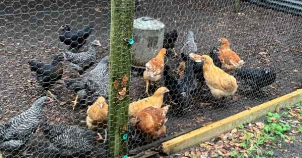 New chickens outside