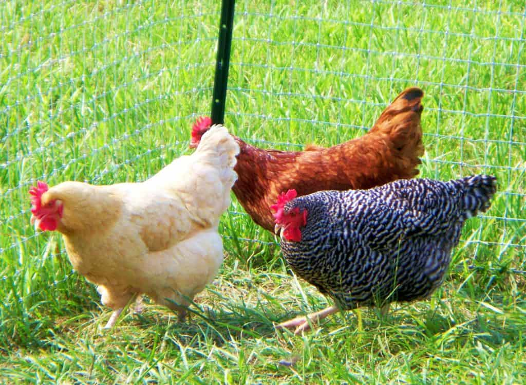 Choosing chickens is easy when you understand the different breeds and needs.