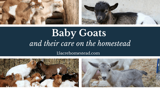 Baby Goats and Their Care on the Homestead