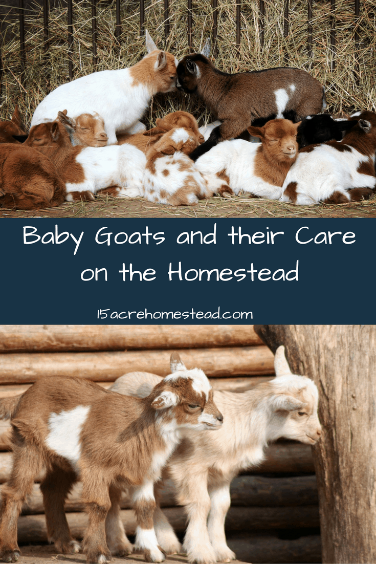 Baby goats and their care is fairly easy! Love to watch these lil guys!