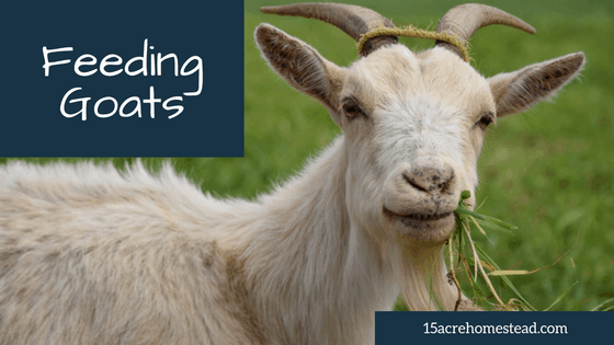 Feeding Goats on your Homestead