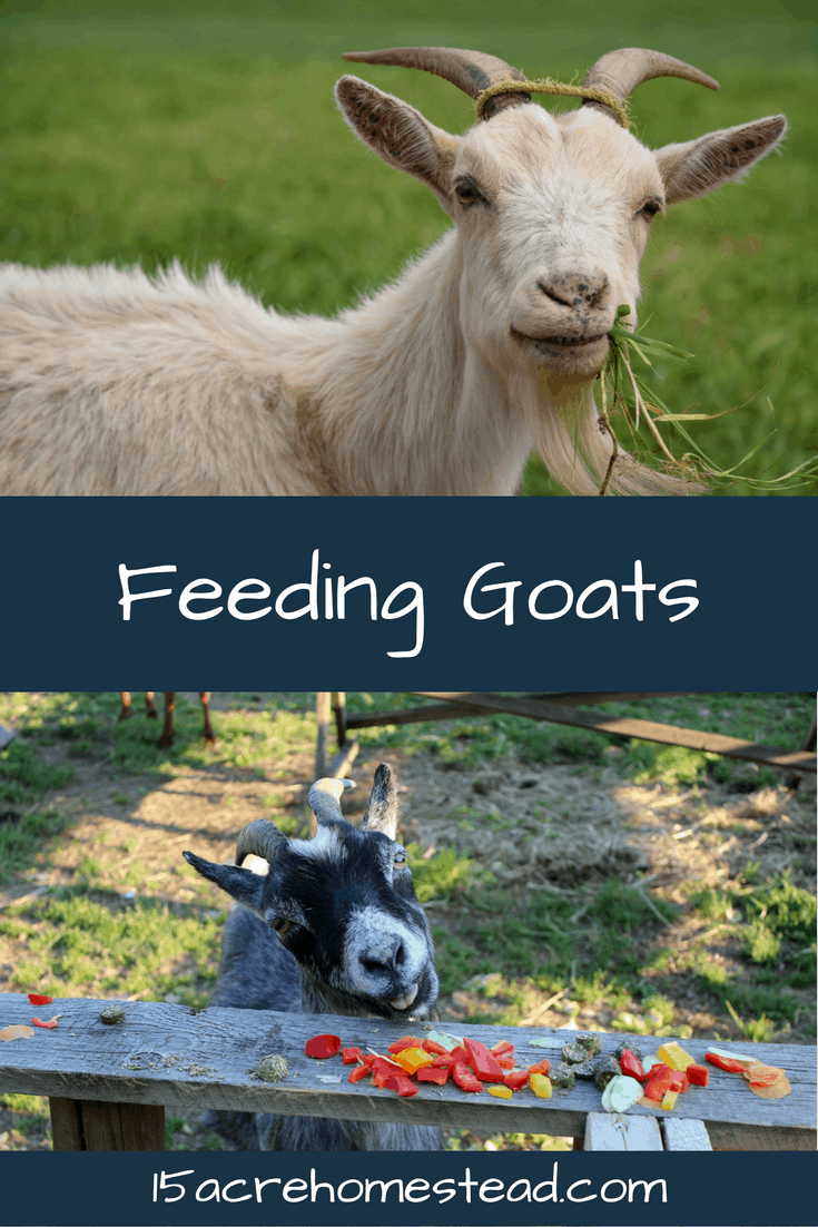 Feeding goats is simple when you understand their digestive system and their needs.