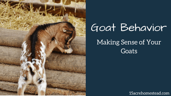 Goat Behavior Making Sense of Your Goats