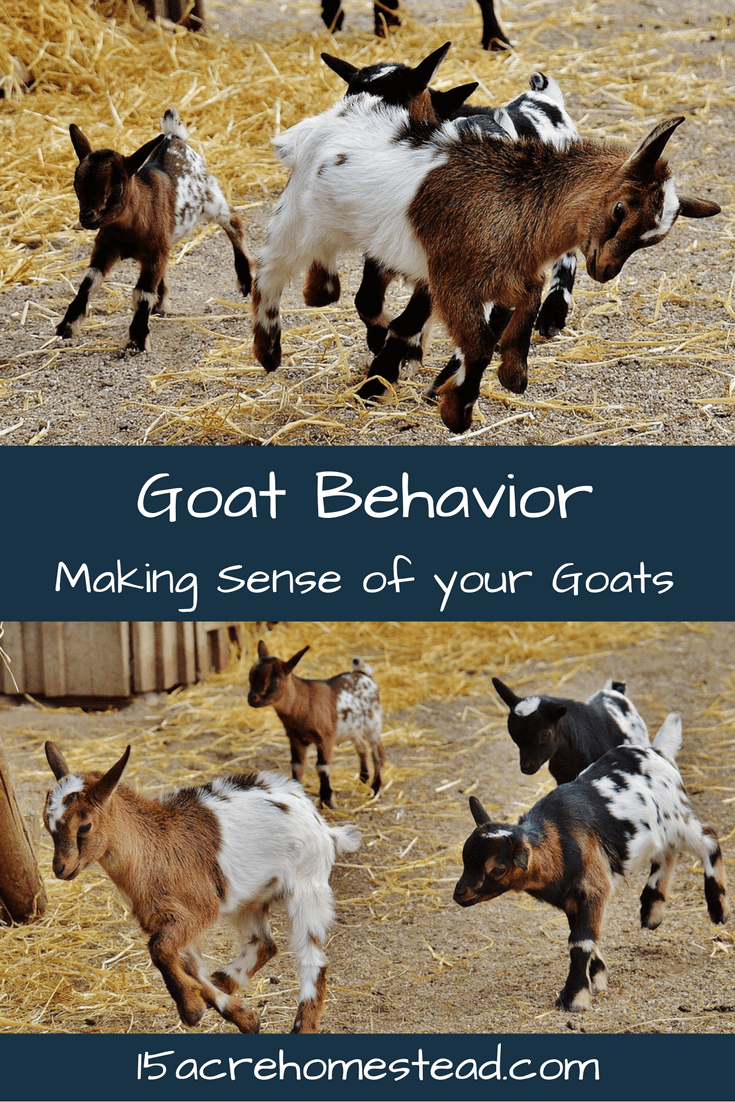 Understand the why and how of goat behavior!