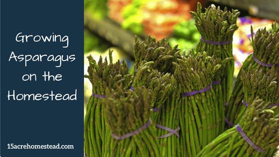 growing asparagus on the homestead