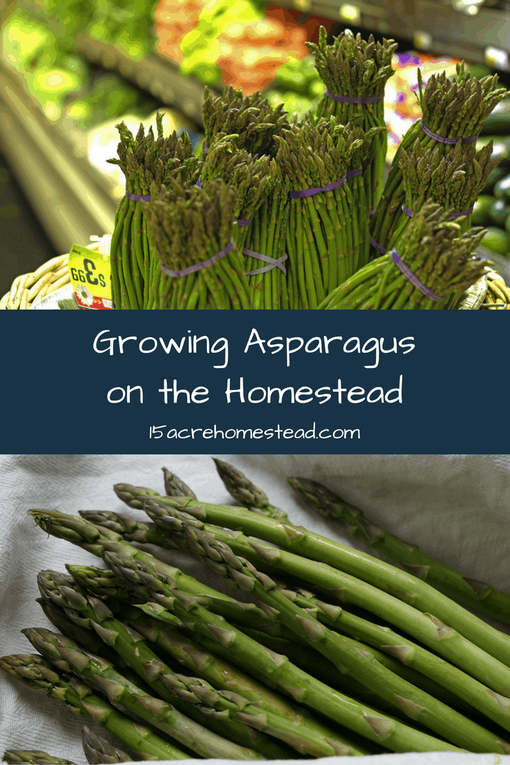 Growing Asparagus on the Homestead - 15 Acre Homestead Planting Asparagus In The Fall