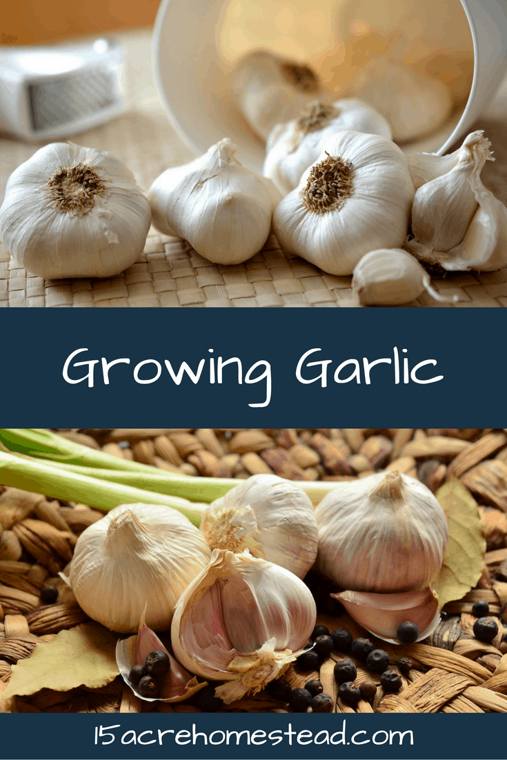 Learn how to grow and harvest garlic!