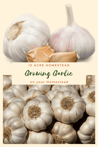 Learn how to grow garlic on your homestead and how you can really benefit from this power-packed plant.