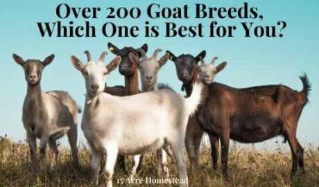 understanding goat breeds featured image