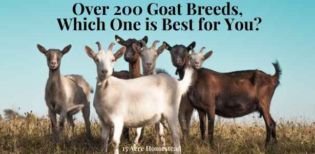 understanding goat breeds featured image