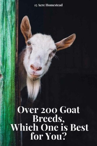 If you are considering raising goats on your homestead, you need to understand the various goat breeds available. There are over 200 goat breeds throughout the world. Choosing one can be difficult.