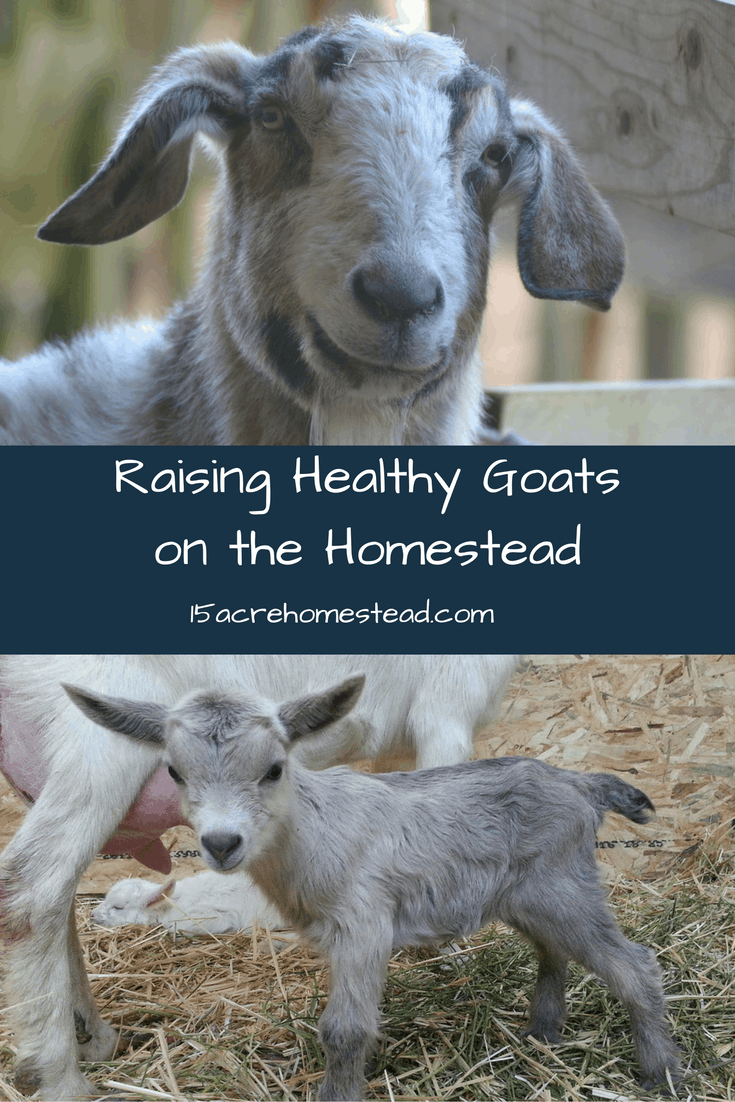 Preventative maintenance suggestions for raising healthy goats on your homestead!