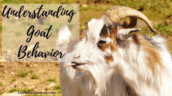 Understanding goat behavior