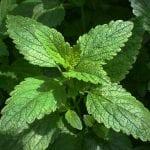 herbs-lemon balm