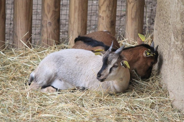 goats in bedding