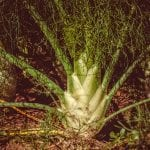 herbs-fennel