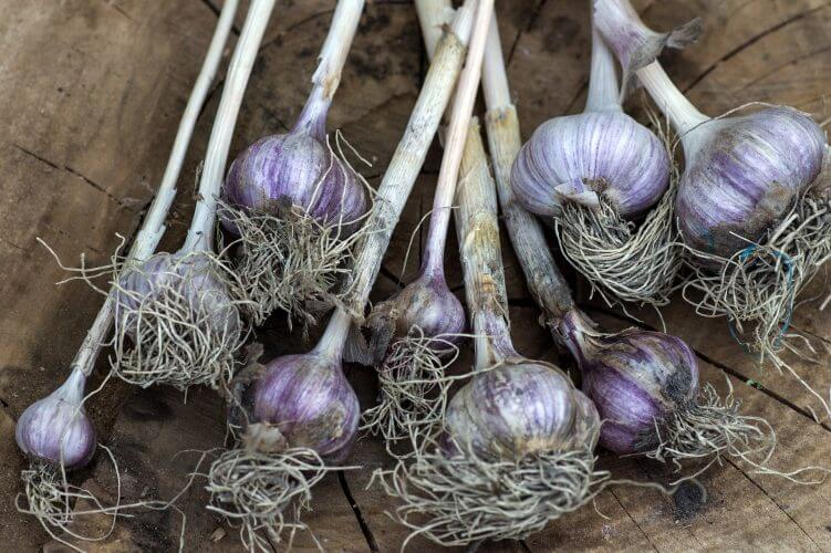 garlic with roots and stems