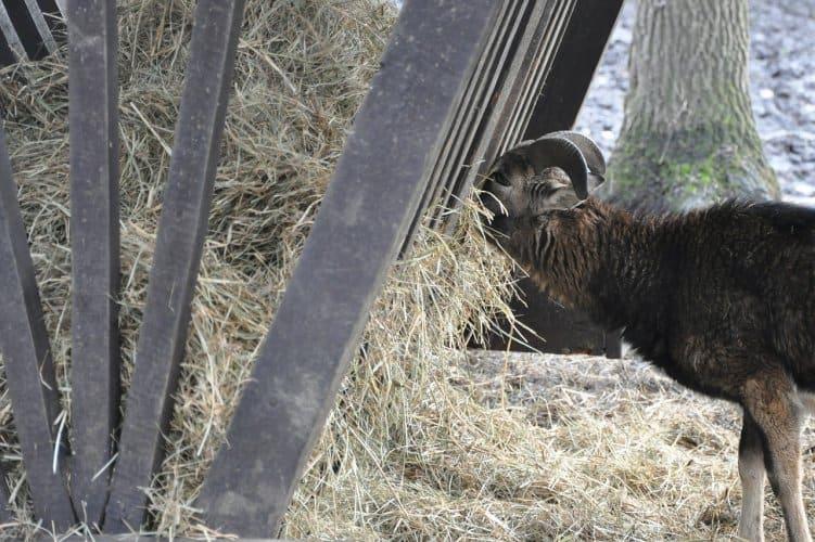 goat eating from manger