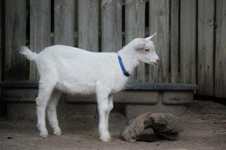 Goat with collar