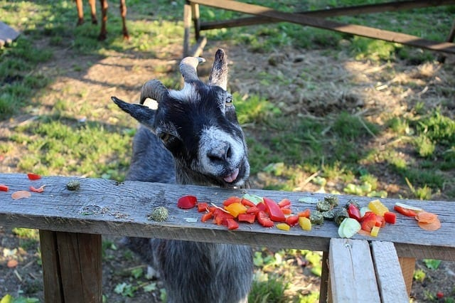 goat eating fruit and veggies