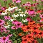 herbs-echinacea