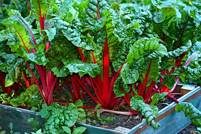 swiss chard in raised bed