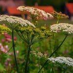 herbs-yarrow