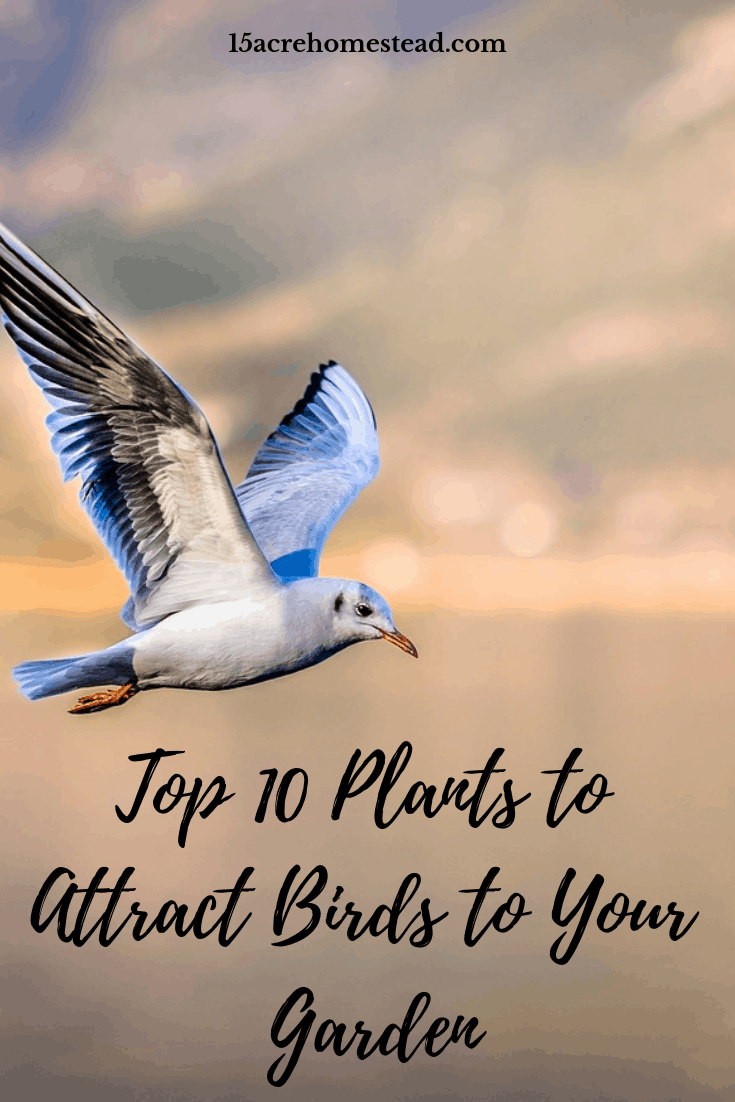 Are you rying to attract birds to your garden? Here is a list of the top 10 plants you need to plant today!