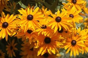 attract birds with black eyed susan