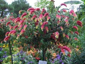 attract birds with shrimp plant